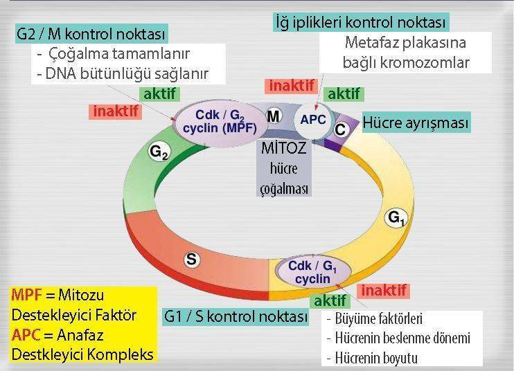 hücre döngüsü mitoz g g1 g2 m