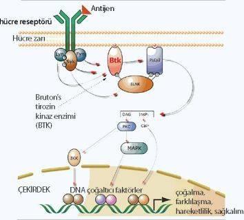 Ibrutinib nedir? Ibrutinib etki mekanizması nasıldır?