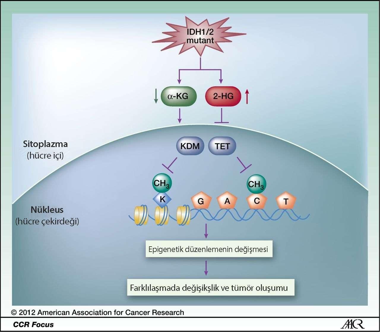 idh 1 2 mutasyonları hücre düzeyinde etki mekanizmaları