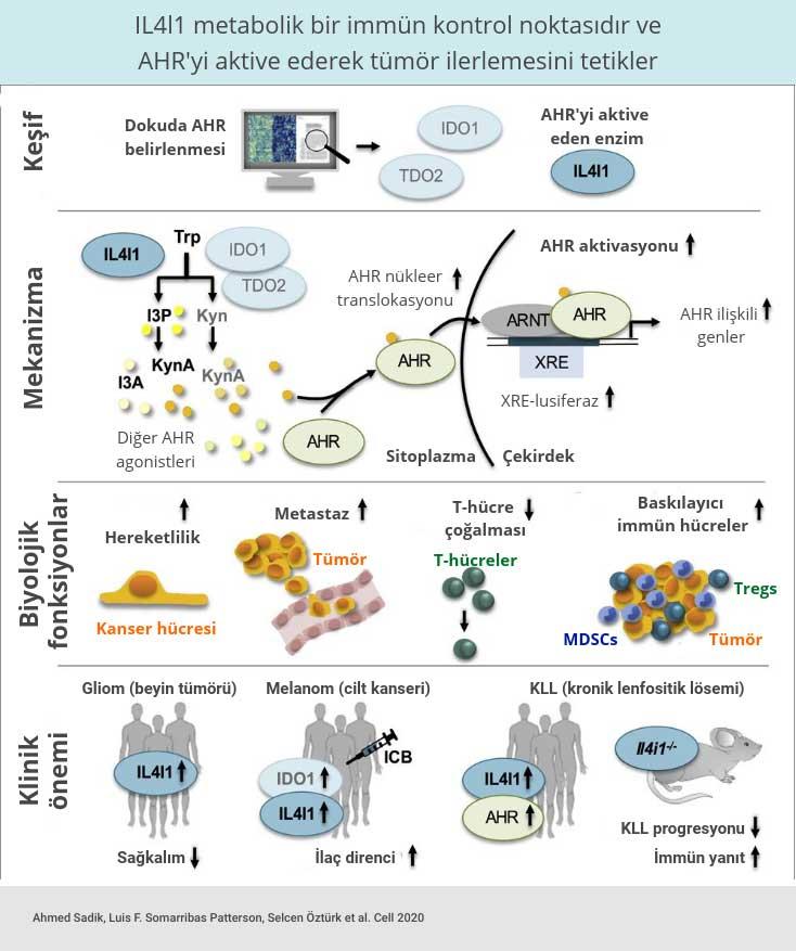 il4l1 enzimi metabolik bir immun kontrol noktasidir ve ahr aktive ederek tumor ilerlemesini tetikle