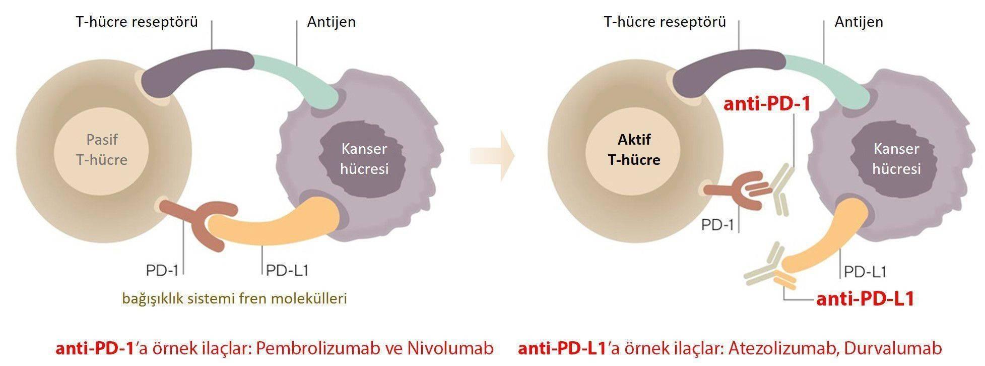 immun kontrol noktasi duzenleyicileri inhibitorleri pembrolizumab keytruda nivolumab opdivo