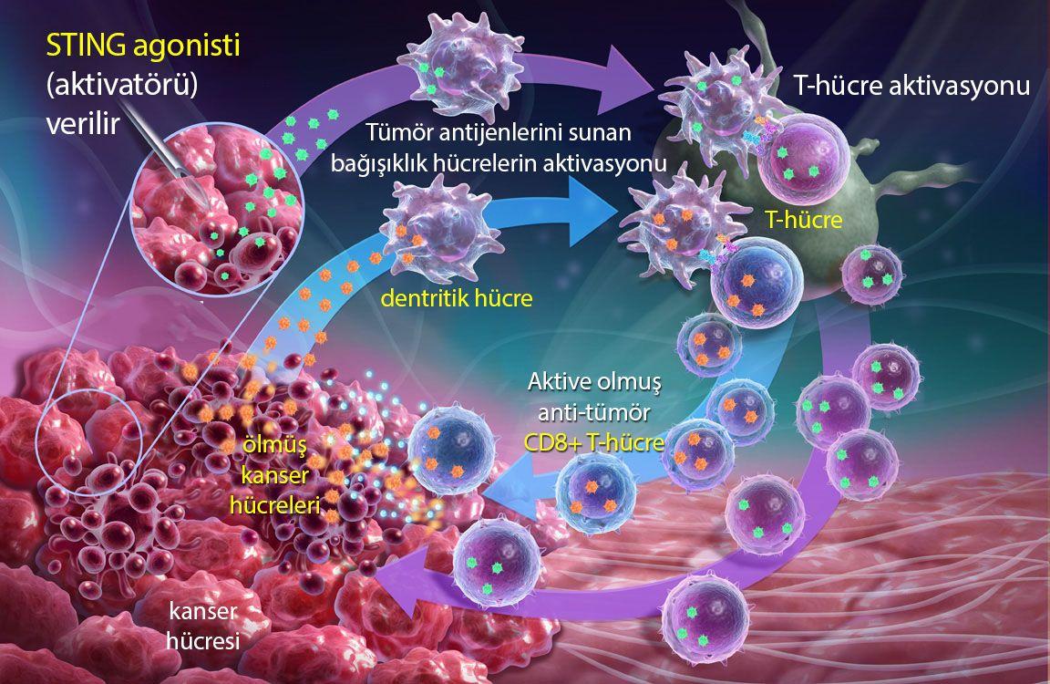 immün sistem aktivatörü STING reseptörü agonistleri mekanizması nasıl çalışır