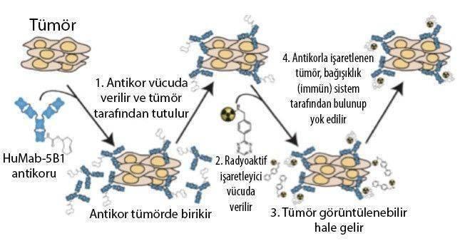 immüno pet tomografi humab 5b1 mabvax kanser aşısı pankreas kanseri