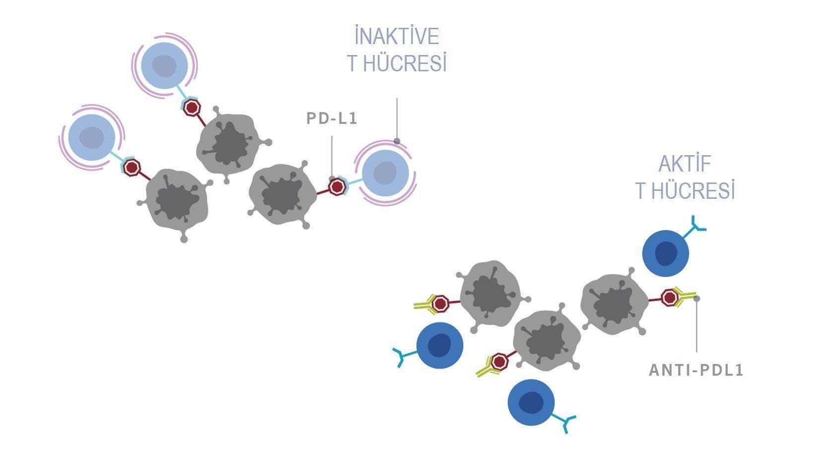 immunoterapi2
