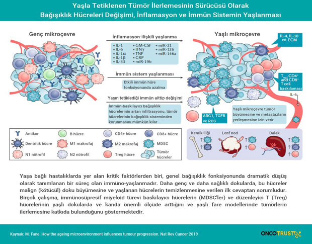 inflamasyon ve immun sistemin yaslanmasi