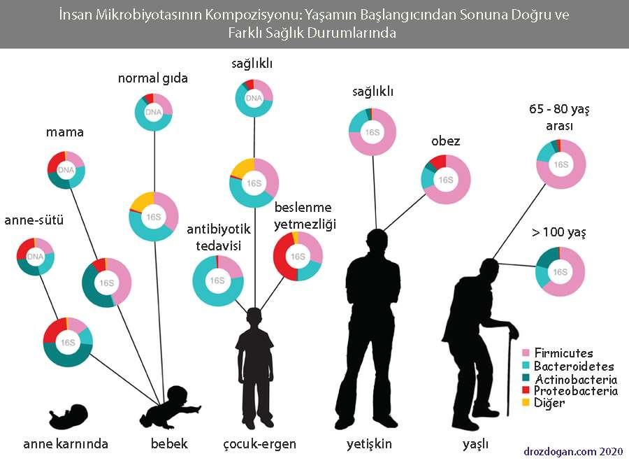 insan mikrobiyota kompozisyonu çeşitleri obezite antibiyotik hangi bakteriler