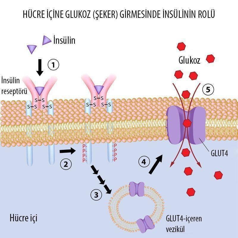 insulin glukoz uptake etki mekanizması
