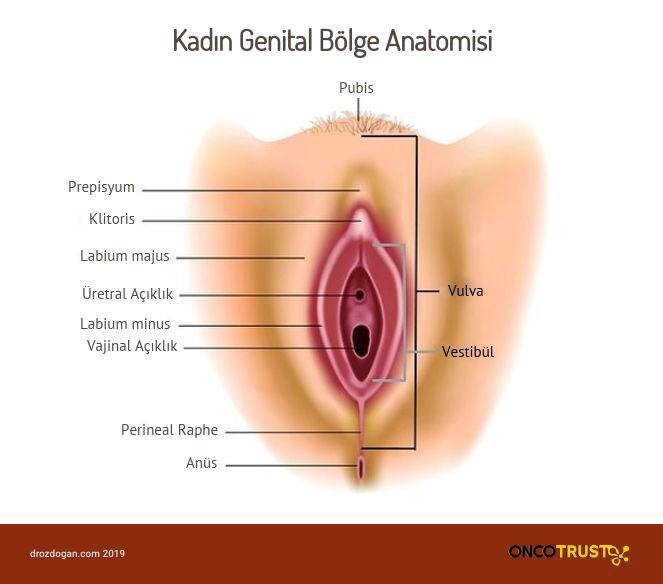 kadin genital bolge anatomisi