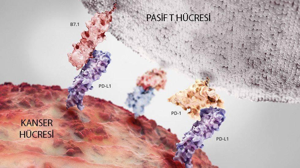 kanser hücresi t hücre etkileşimi bağışıklık sistemi kontrol noktası