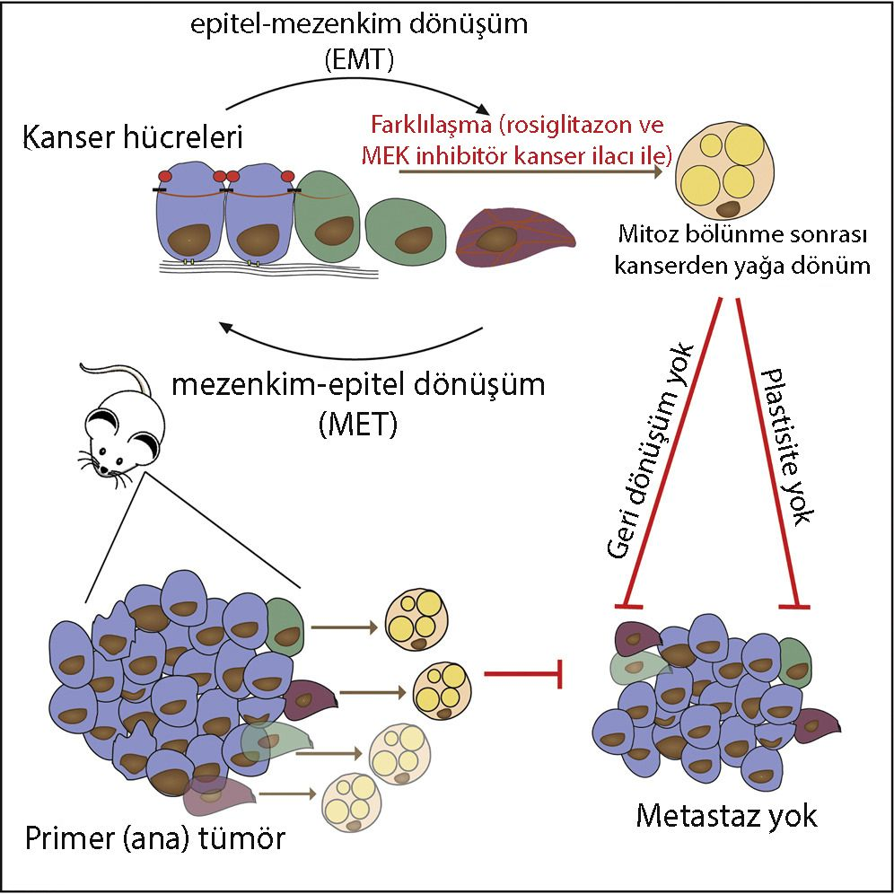 kanser hücresi yağa dönüşüm Gain Fat Lose Metastasis Converting Invasive Breast Cancer Cells
