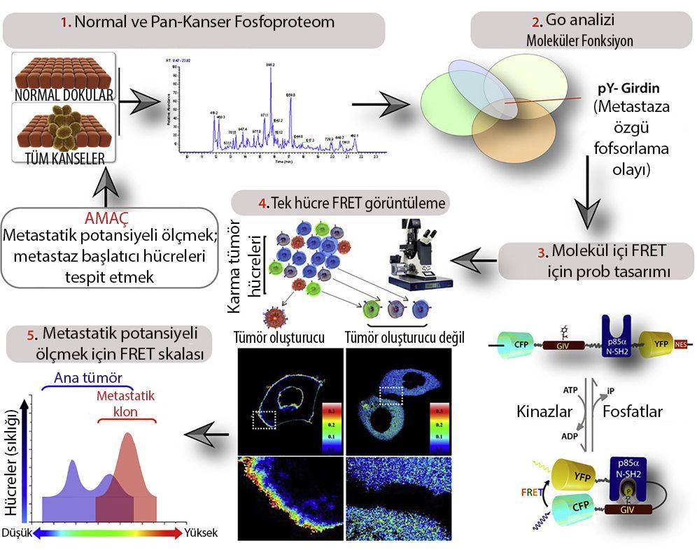 kanser hücresinin metastaz potansiyelini protein modifikasyonu giv girdin