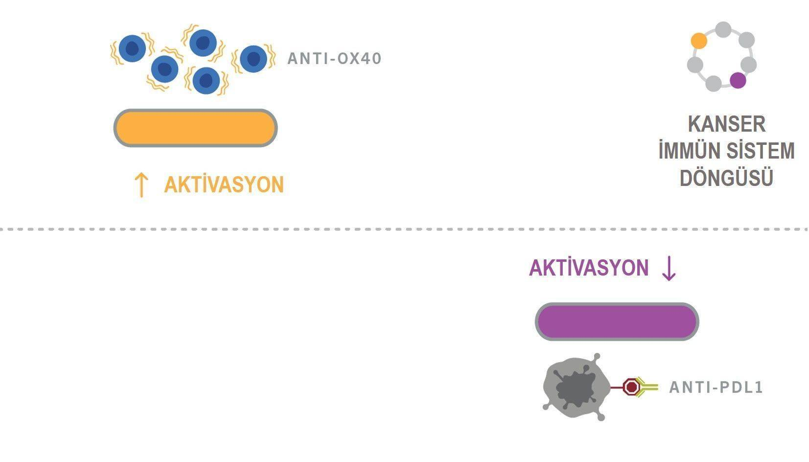 kanser immun sistem dongusu