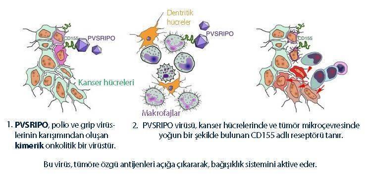 kanser onkolitik virüs aşısı beyin tümörü gbm 4 tedavisi nasıl etki eder