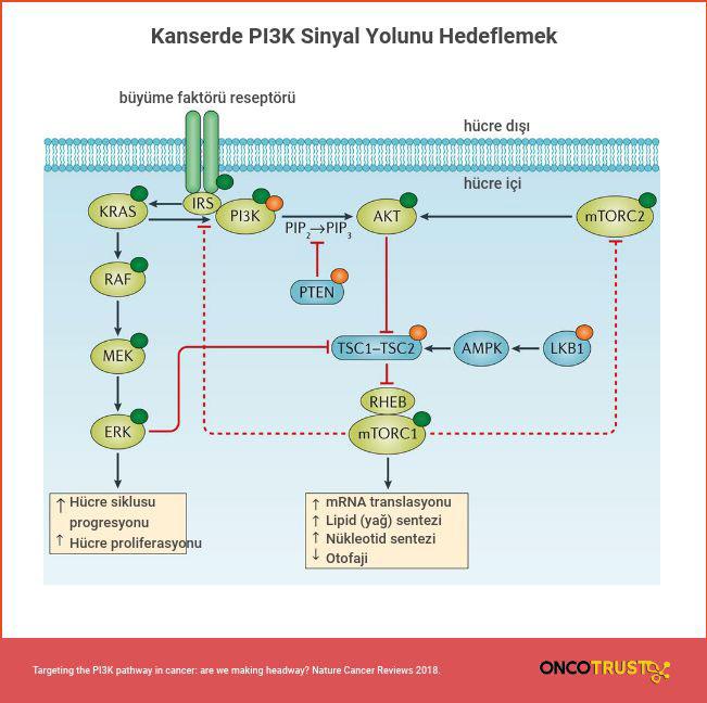 kanserde pi3k sinyal yolunu hedeflemek
