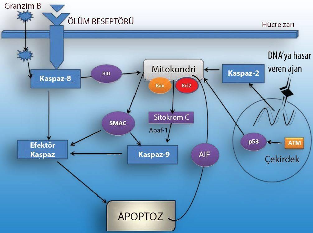 kaspaz proteinleri kanser tedavisi apoptoz nedir kanserde rolü nedir