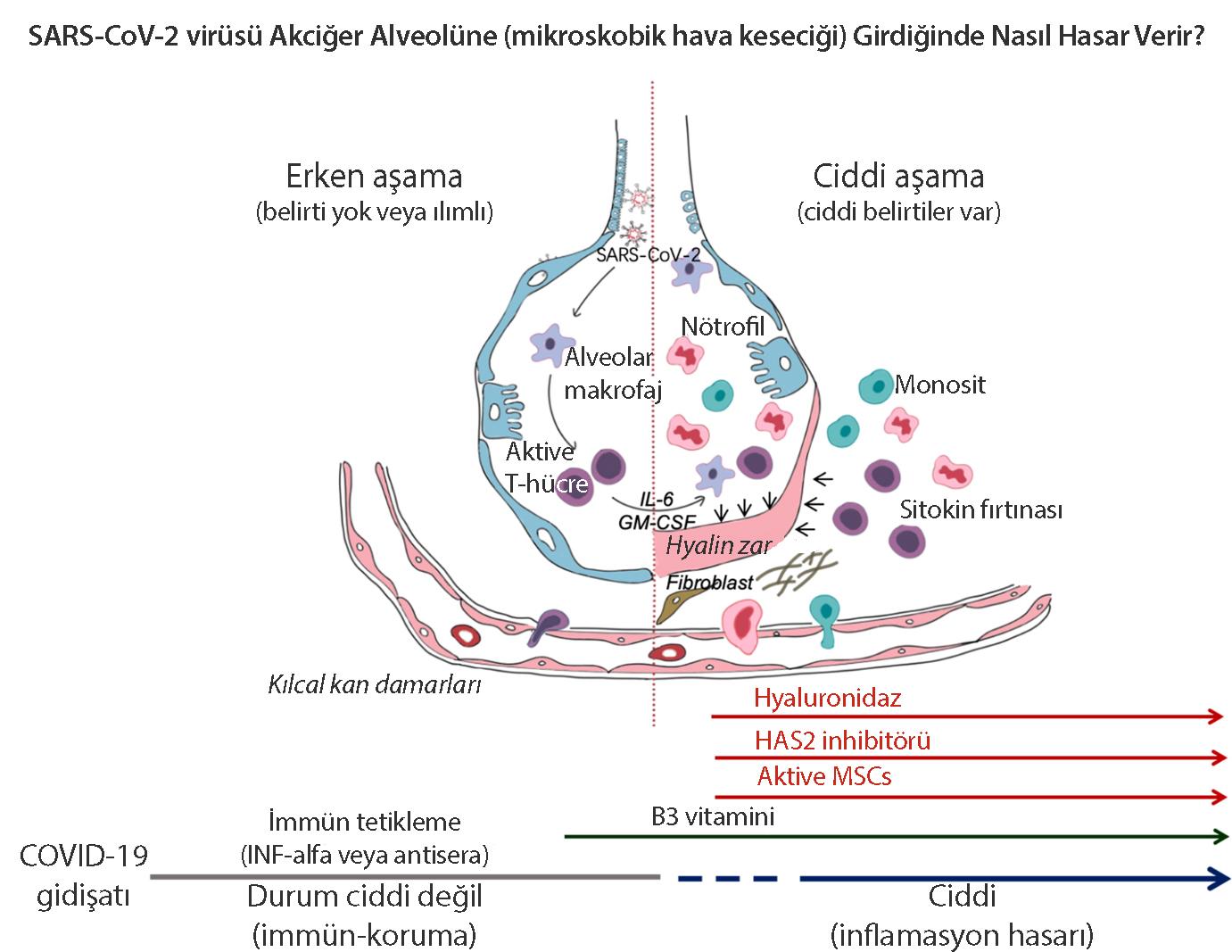 koronavirüse karşı bağılıklık sistemi nasıl tepki veriyor