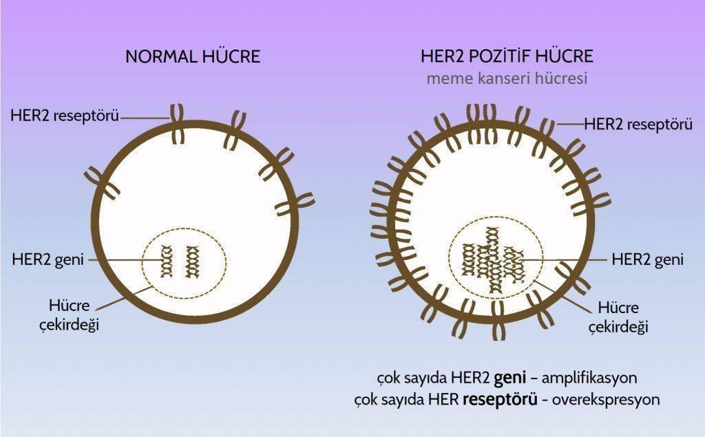 meme kanser her2 reseptor pozitif hucre ve normal hucre herceptin perjeta