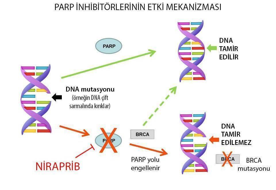 niraparib jeluza etki mekanizmasi over kanseri tedavisi brca mutasyonu parp inhibitoru