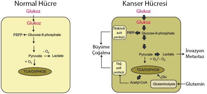 normal ve kanser hücresi arasındaki enerji glukoz metabolizması farklılıkları krebs dongusu