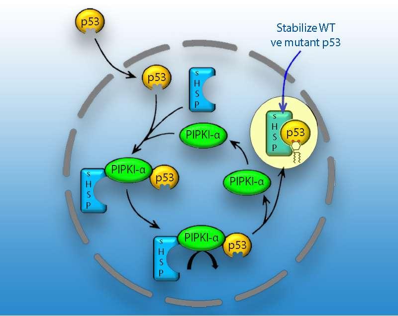 p53 stabilitesinin PIPKI alfa prostoglandinler ve HSP ler ile nasıl regüle edildiğinin şematik
