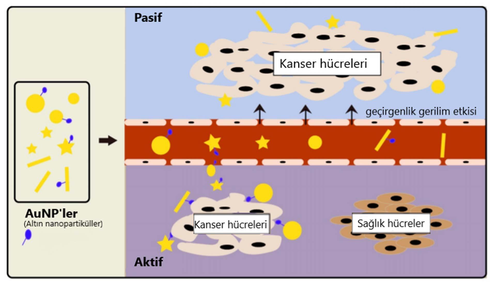 pasif ve aktif altin nanopartikul hedeflendirme