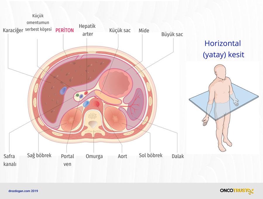 periton horizontal yatay kesit