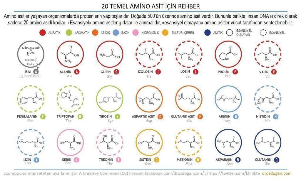 proteinlerin yapıtaşları amino asitler esansiyel ve esansiyel olmayanlar infografik