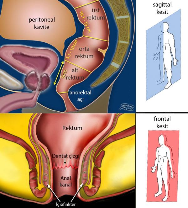 rektum anatomisi ve bölgeleri alt orta üst