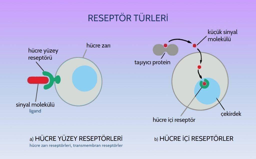 reseptor turleri hucre yuzey reseptoru transmembran reseptoru intraseluler reseptorler kanser ligan