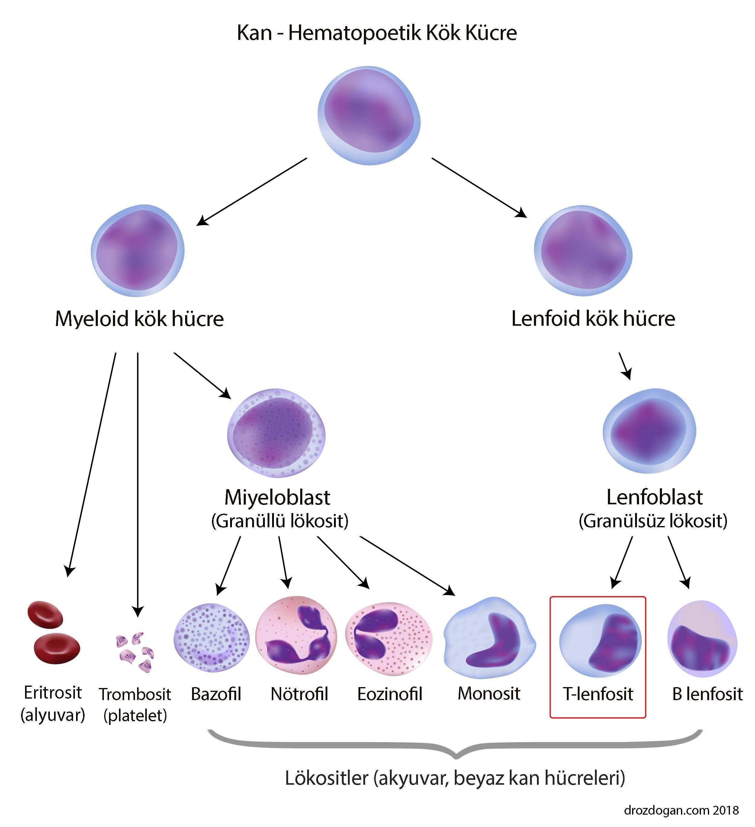 t lenfosit hücre nedir nasıl oluşur lenfoid sistem lokosit
