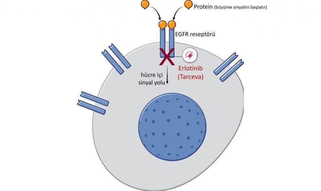 tarceva erlotinib 4 evre akciger kanseri adenokanser yasam surelerini uzatan tedavi 1024x610