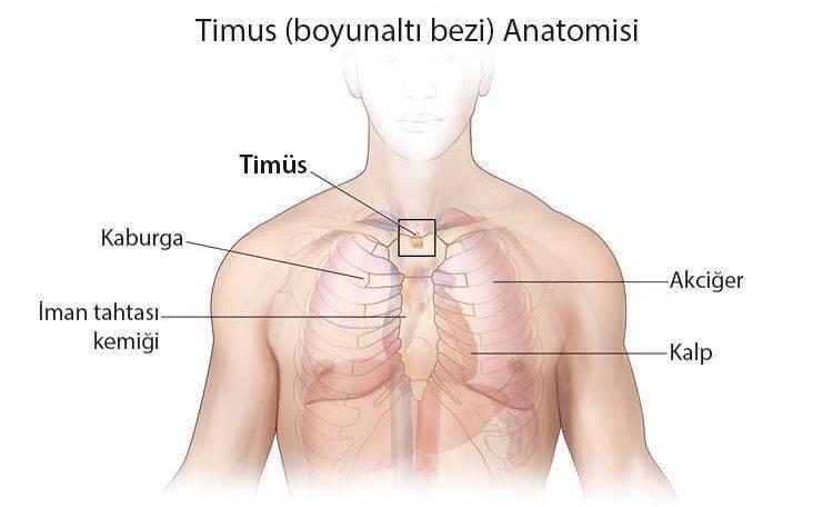 timüs boyunaltı bezi anatomisi