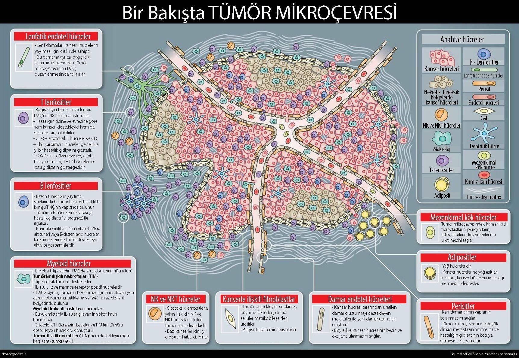 tumor kanser mikrocevresi endotel t ve b lenfositler makrofajlar natural killer fibroblastlar peris