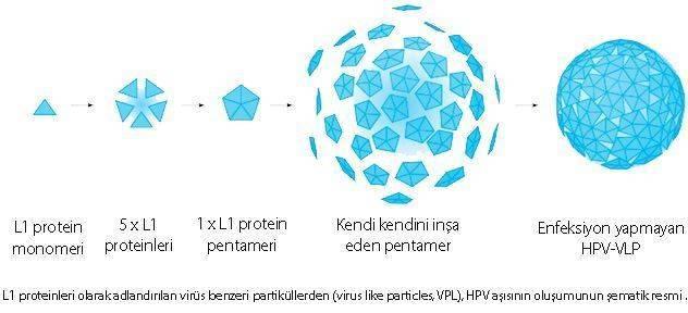 virus like particle virüs benzeri protein L1 HPV aşısı etki mekanizması