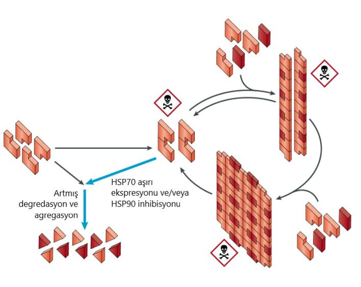 yanlis katlanmis proteinlerin degredasyonu
