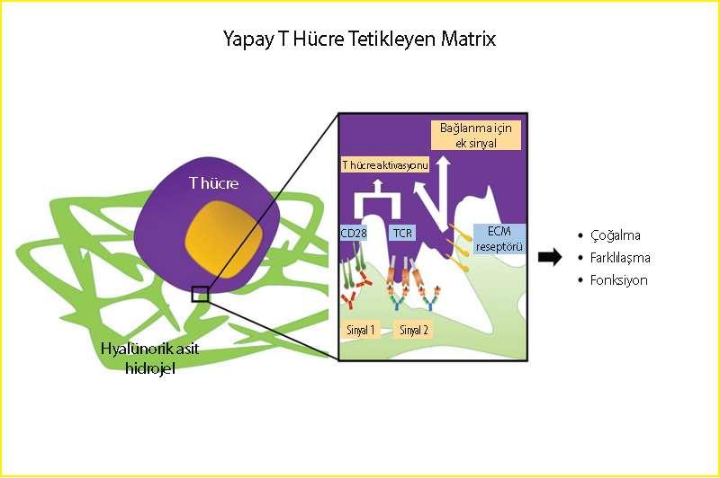 yapay t hücre üreten matrix