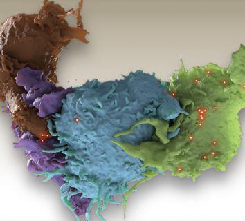 Yeni bir bağışıklık sistemi hücresi keşfedildi: Fosfolipid reaktif T hücre